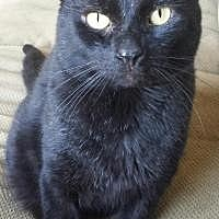 Domestic Shorthair Cat for adoption in Concord, Ohio - Tommy
