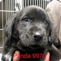 Adopt A Pet :: Panda - baltimore, MD