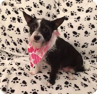 Terrier (Unknown Type, Small) Mix Dog for adoption in Mesa, Arizona - Coo Two