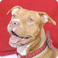 American Pit Bull Terrier Dog for adoption in Lockport, New York - Candy