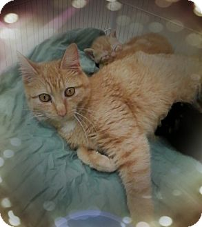 Domestic Shorthair Cat for adoption in Trevose, Pennsylvania - Rosegold