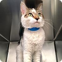 Domestic Shorthair Cat for adoption in Las Vegas, Nevada - Jester