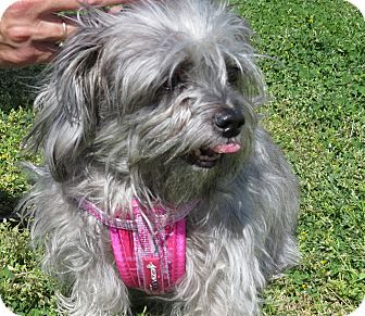 Yorkie, Yorkshire Terrier/Silky Terrier Mix Dog for adoption in Scottsdale, Arizona - Shadow (Courtesy)