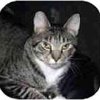 Adopt A Pet :: Kit Kat - Lake Ronkonkoma, NY