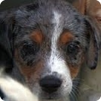 Adopt A Pet :: Olivia - Staunton, VA
