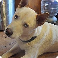 Adopt A Pet :: Azul - Brick, NJ