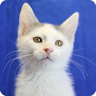 Domestic Shorthair Kitten for adoption in Winston-Salem, North Carolina - Emmitt