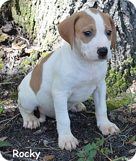 Treeing Walker Coonhound/Catahoula Leopard Dog Mix Puppy for adoption in Lake Pansoffkee, Florida - Rocky