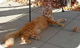 Domestic Longhair Cat for adoption in Gardnerville, Nevada - Whiner