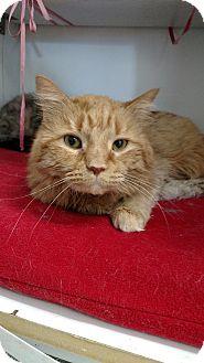 Domestic Mediumhair Cat for adoption in Chaska, Minnesota - Mango