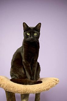 Domestic Shorthair Cat for adoption in Atlanta, Georgia - Labelle150611