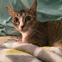 Adopt A Pet :: Addyson - Arlington/Ft Worth, TX