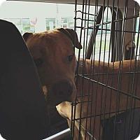 Adopt A Pet :: Niko - Spring, TX