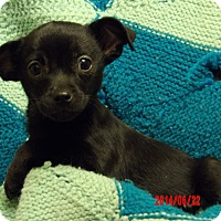 Chihuahua/Pekingese Mix Puppy for adoption in Twinsburg, Ohio - Winston (3 lb) New Pics/Video!
