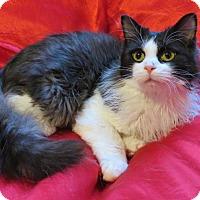 Domestic Longhair Cat for adoption in St. Louis, Missouri - Jaime Lannister