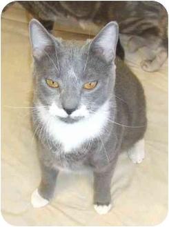 Domestic Shorthair Cat for adoption in Lake Charles, Louisiana - Sampson (aka Mustachio)