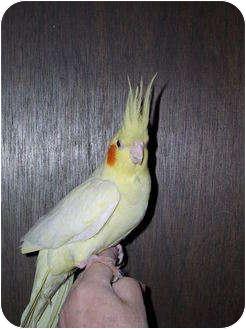 Cockatiel for adoption in St. Louis, Missouri - Autumn
