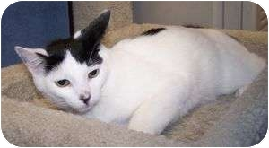 Domestic Longhair Cat for adoption in Colorado Springs, Colorado - K-Ron10-Galahad