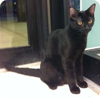 Domestic Shorthair Kitten for adoption in Merrifield, Virginia - Taco
