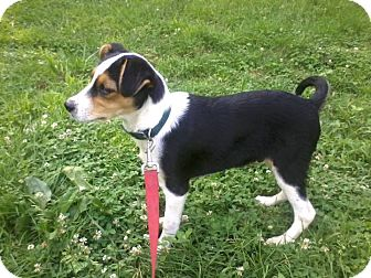 Wirehaired Fox Terrier/Jack Russell Terrier Mix Puppy for adoption in Morgantown, West Virginia - Boo