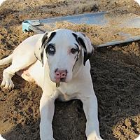 Adopt A Pet :: Goose - Raleigh, NC