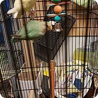 Adopt A Pet :: Issac - Lenexa, KS