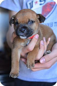 Hound (Unknown Type) Mix Puppy for adoption in Danbury, Connecticut - Sandy