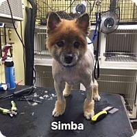 Adopt A Pet :: Simba - Newport, KY