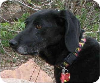 Labrador Retriever/Hound (Unknown Type) Mix Dog for adoption in Scottsdale, Arizona - Ruby (Flagstaff)