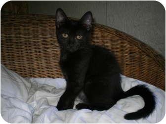 Domestic Shorthair Kitten for adoption in Morris, Pennsylvania - Ricky