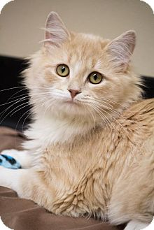 Maine Coon Cat for adoption in Chicago, Illinois - Julian