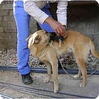 Adopt A Pet :: Indi - Albuquerque, NM