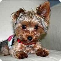 Adopt A Pet :: Gucci - Commerce TWP, MI