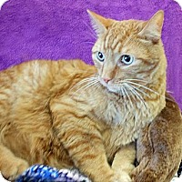 Domestic Shorthair Cat for adoption in Youngtown, Arizona - Turbo