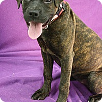 Adopt A Pet :: Zanella - Broomfield, CO