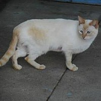 Siamese Cat for adoption in Morgan Hill, California - Ginger