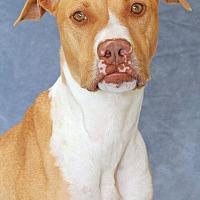 Labrador Retriever/Pit Bull Terrier Mix Dog for adoption in Encinitas, California - Reed