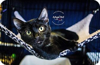 Domestic Shorthair Kitten for adoption in Charlotte, North Carolina - A..  Dagan