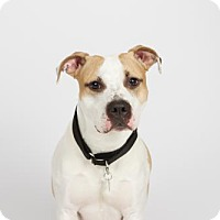 Pit Bull Terrier Mix Dog for adoption in Richmond, Virginia - Joby