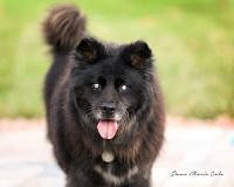 Chow Chow Dog for adoption in New Smyrna Beach, Florida - Grizzly