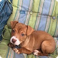 Adopt A Pet :: Pumpkin Pie - San Diego, CA
