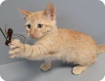 Domestic Shorthair Cat for adoption in Seguin, Texas - Cricket