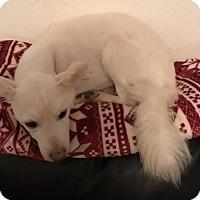 Adopt A Pet :: Snowball - Las Vegas, NV