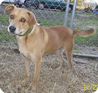 Labrador Retriever/Terrier (Unknown Type, Medium) Mix Dog for adoption in Leesburg, Virginia - Kona