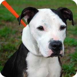 American Pit Bull Terrier Mix Dog for adoption in Gainesville, Florida - Elizabeth