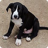 Adopt A Pet :: HUDSON - Plano, TX