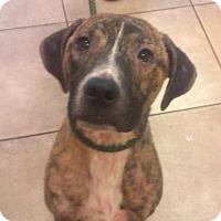 Adopt A Pet :: Charlie Brown - Orange Lake, FL