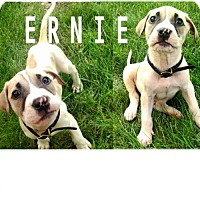 Adopt A Pet :: Ernie - Indianapolis, IN