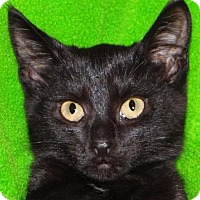 Domestic Shorthair Kitten for adoption in Renfrew, Pennsylvania - Clooney