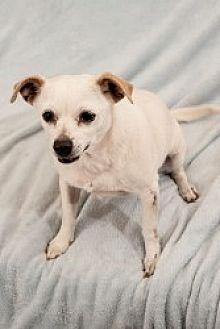 Chihuahua Mix Dog for adoption in Mesa, Arizona - Vivian